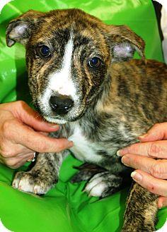 German Shepherd Dog/Bulldog Mix Puppy for adoption in Allentown, Pennsylvania - Tigger