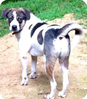 Husky/Labrador Retriever Mix Dog for adoption in Hixson, Tennessee - Ranger