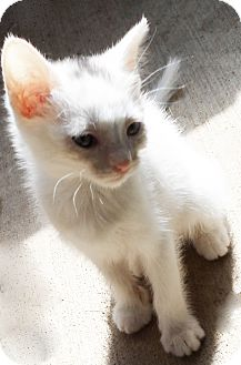 Domestic Shorthair Kitten for adoption in Xenia, Ohio - Bea