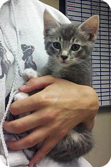 Domestic Shorthair Kitten for adoption in Bellingham, Washington - Betty