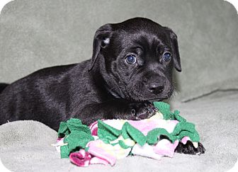 Labrador Retriever/Border Collie Mix Puppy for adoption in Wellington, Florida - Sabrina