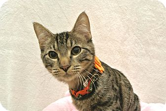 Domestic Shorthair Kitten for adoption in Foothill Ranch, California - Yogi
