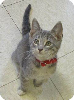 Domestic Shorthair Kitten for adoption in Glenwood, Minnesota - Vroom