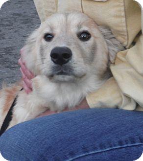 Golden Retriever/Australian Shepherd Mix Puppy for adoption in Snoqualmie, Washington - Piper Adoption Pending