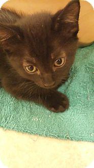 Domestic Shorthair Kitten for adoption in Satellite Beach, Florida - Black Jack
