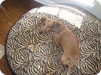 Dachshund Dog for adoption in Dothan, Alabama - Bella