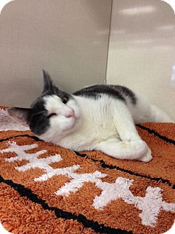 Domestic Shorthair Cat for adoption in Woodland Hills, California - Winky