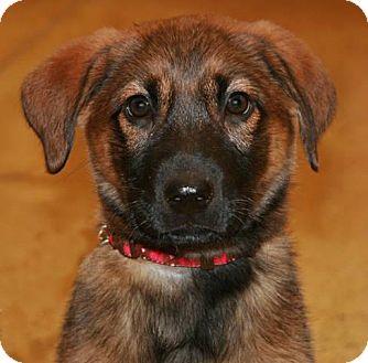 German Shepherd Dog Mix Puppy for adoption in Arlington Heights, Illinois - Allie