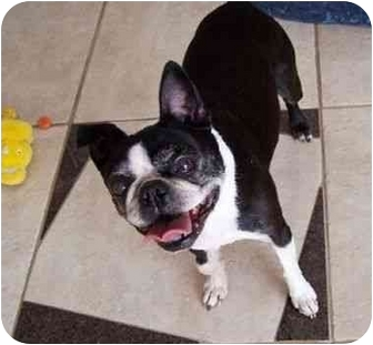 Boston Terrier Dog for adoption in Temecula, California - Gracie