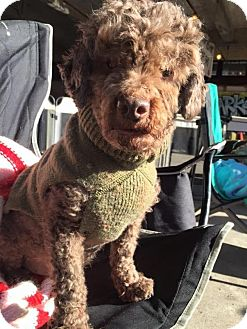 Poodle (Miniature) Dog for adoption in Pittsburgh, Pennsylvania - Cobi