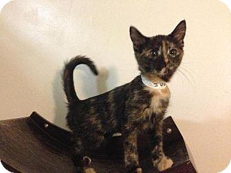 Domestic Mediumhair Kitten for adoption in Columbus, Ohio - Carmen