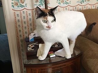 Calico Cat for adoption in Berkeley, California - Pearl  *URGENT*