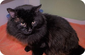 Domestic Longhair Cat for adoption in Muskegon, Michigan - Chevy