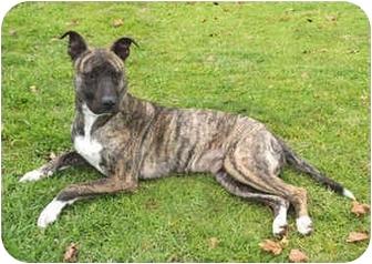 Dutch Shepherd/American Pit Bull Terrier Mix Dog for adoption in Marina del Rey, California - Roxie