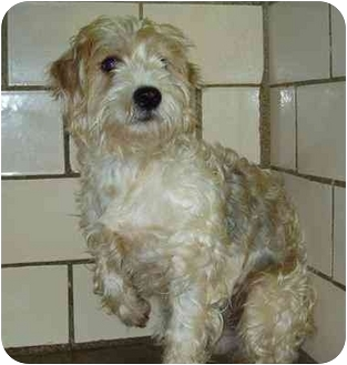 Poodle (Miniature)/Schnauzer (Miniature) Mix Dog for adoption in Osseo, Minnesota - Dolly