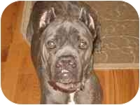 Cane Corso Dog for adoption in New York, New York - Sophia- NY