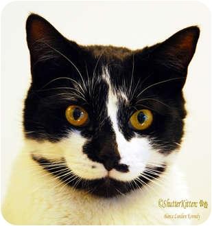 Domestic Shorthair Cat for adoption in Encinitas, California - Edie