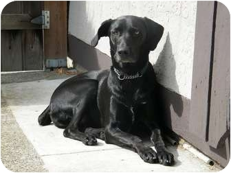 Labrador Retriever/Border Collie Mix Dog for adoption in Vancouver, British Columbia - Jack - Adopt me!