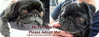 Pug Dog for adoption in Eagle, Idaho - Charlie