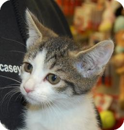 Domestic Shorthair Kitten for adoption in Brooklyn, New York - Karin