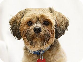 Shih Tzu Mix Dog for adoption in Ile-Perrot, Quebec - Mustang