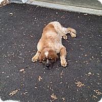 Adopt A Pet :: Riley - Dandridge, TN