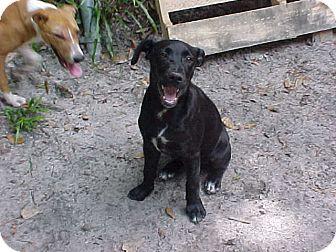 Labrador Retriever Mix Puppy for adoption in Old Town, Florida - June Bug