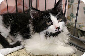 Domestic Longhair Kitten for adoption in Lombard, Illinois - Linguine