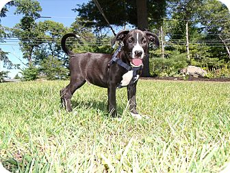 Labrador Retriever/American Bulldog Mix Puppy for adoption in Worcester, Massachusetts - VirgiL