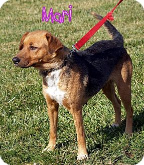 Hound (Unknown Type)/Shepherd (Unknown Type) Mix Dog for adoption in Lewisburg, West Virginia - Mari