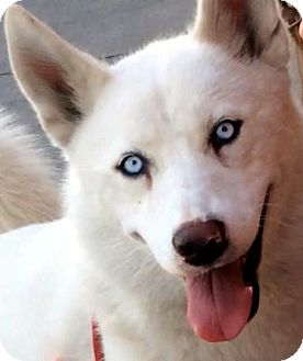 Siberian Husky Dog for adoption in Los Angeles, California - AURORA (video)