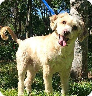 Cockapoo Mix Dog for adoption in Irvine, California - RUDY