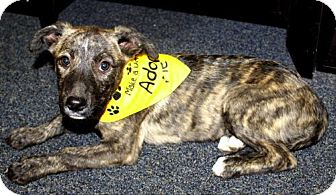 Shepherd (Unknown Type)/Pit Bull Terrier Mix Puppy for adoption in Saddle Brook, New Jersey - NATALIA