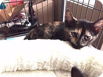 Domestic Shorthair Kitten for adoption in Palm Springs, California - Missy