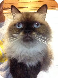 Persian Cat for adoption in St. Louis, Missouri - Kasia