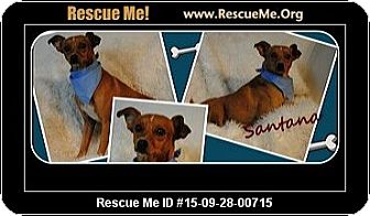 Terrier (Unknown Type, Small) Mix Dog for adoption in Saddle Brook, New Jersey - Santana