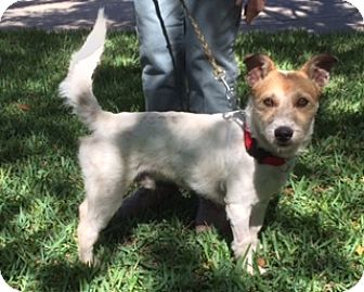 Jack Russell Terrier/Terrier (Unknown Type, Small) Mix Dog for adoption in San Antonio, Texas - Scruffy
