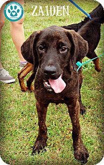 Hound (Unknown Type) Mix Puppy for adoption in Kimberton, Pennsylvania - Zaiden