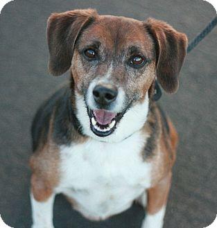 Beagle Mix Dog for adoption in Canoga Park, California - Peanut