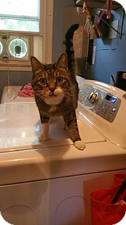 Domestic Shorthair Cat for adoption in Woodbine, New Jersey - Benny