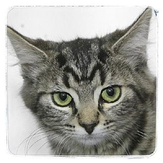 Domestic Mediumhair Kitten for adoption in Salem, Massachusetts - Miss Chief