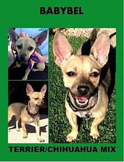 Terrier (Unknown Type, Small)/Chihuahua Mix Dog for adoption in Scottsdale, Arizona - Babybel