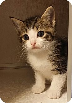 Domestic Shorthair Kitten for adoption in Cannelton, Indiana - Yoda