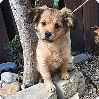 Adopt A Pet :: Simba - Davie, FL