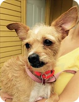 Terrier (Unknown Type, Small)/Chihuahua Mix Dog for adoption in Encino, California - Ginger Bread