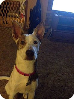 Ibizan Hound Mix Dog for adoption in Coldwater, Michigan - Mya - IN TRAINING