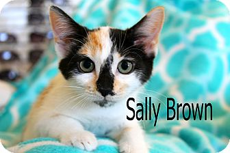 Calico Kitten for adoption in Wichita Falls, Texas - Sally Brown