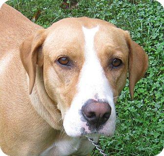 Harrier/Hound (Unknown Type) Mix Dog for adoption in Hillsboro, Ohio - Misty