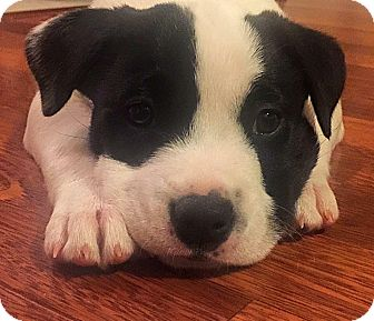 Boxer/Basenji Mix Puppy for adoption in Houston, Texas - Oak