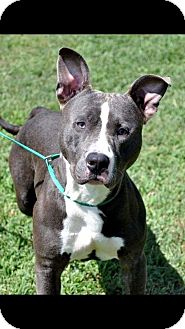 Pit Bull Terrier Mix Dog for adoption in Hopewell, Virginia - Pablo